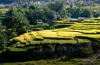 Nepal ricefield